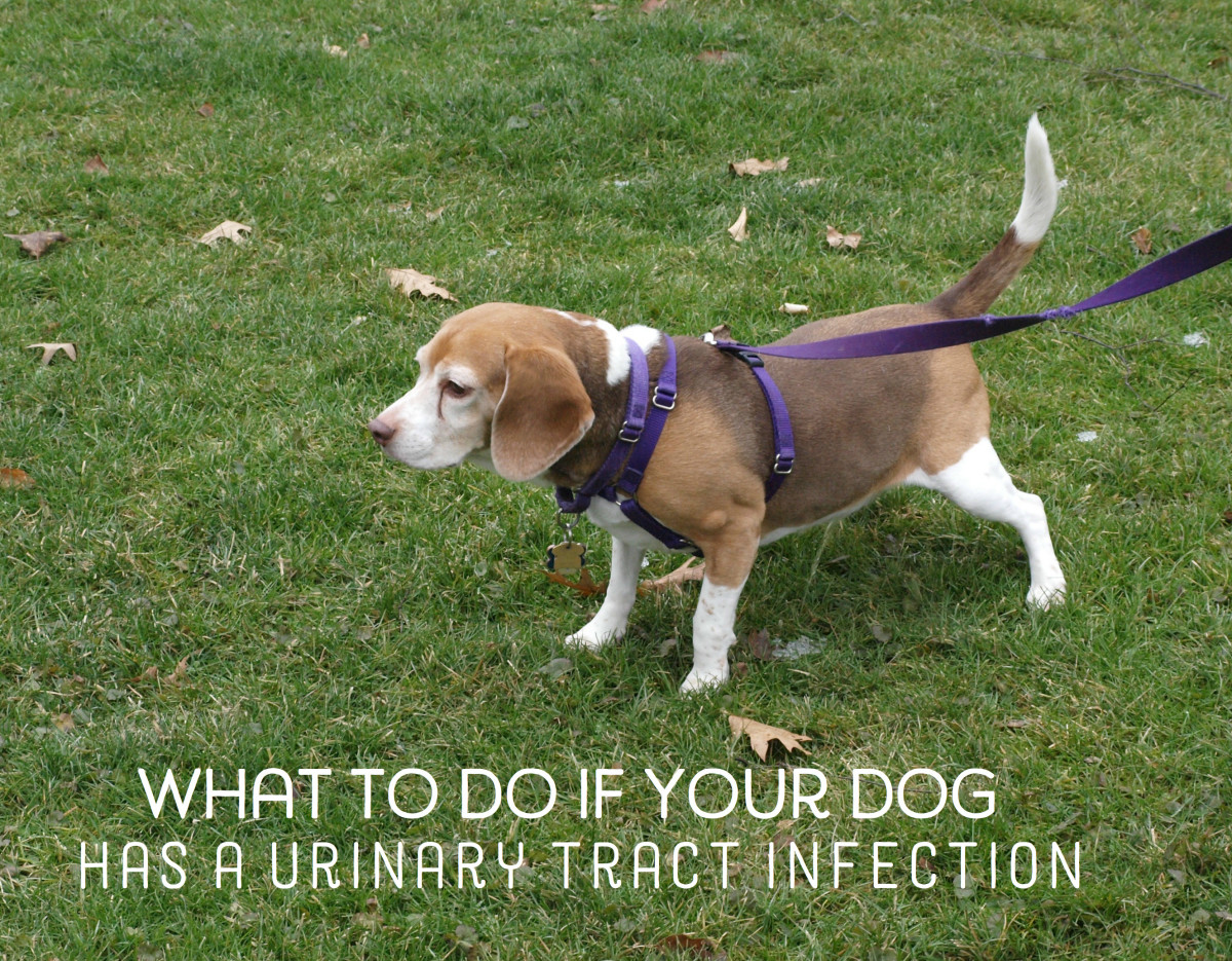 Home Remedies for Dogs with Urinary Tract Infections