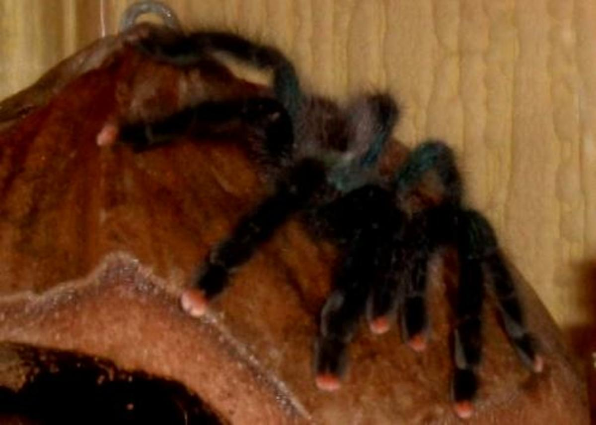 Spiders as Pets: A Beginner's Guide to Tarantula-Keeping