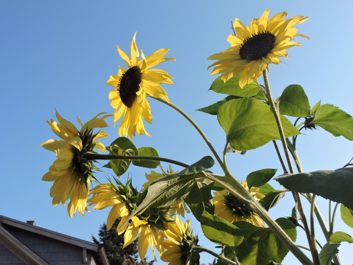One year, I grew a type of sunflower that I got when someone at a farmers market handed me an envelope of seeds. Each stalk produces multiple blossoms.
