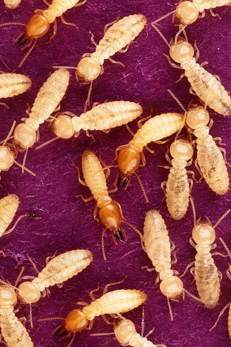 Termites and Naphthalene (Mothballs)