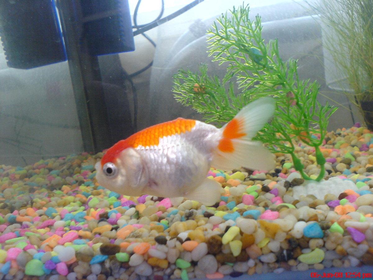 Ranchu goldfish raising the amazing fancy goldfish for The fancy fish