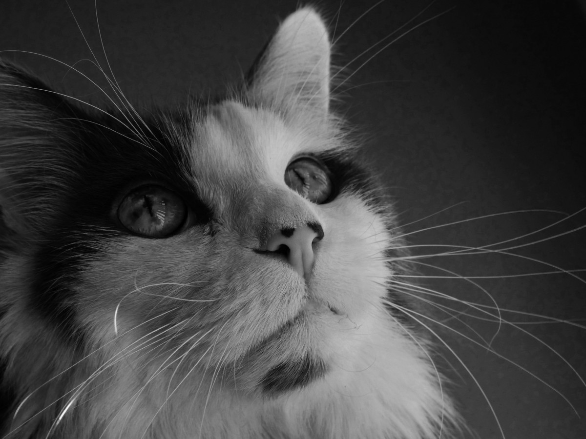 If your kitty has a white nose or white ears, you should keep him indoors during the afternoon to prevent feline skin cancer.