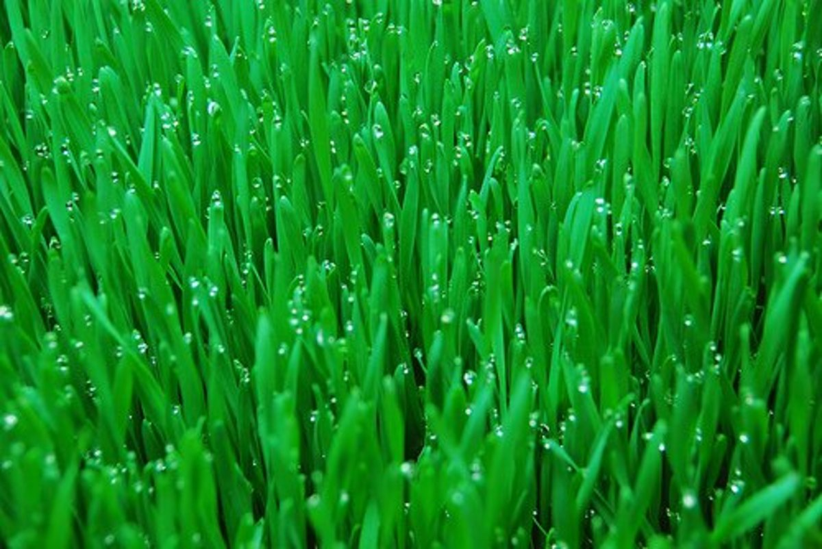 Hydroponic wheat grass.  Photo Credit: http://www.flickr.com/photos/barnyardbbs/536028868/ under Creative Commons Attribution License