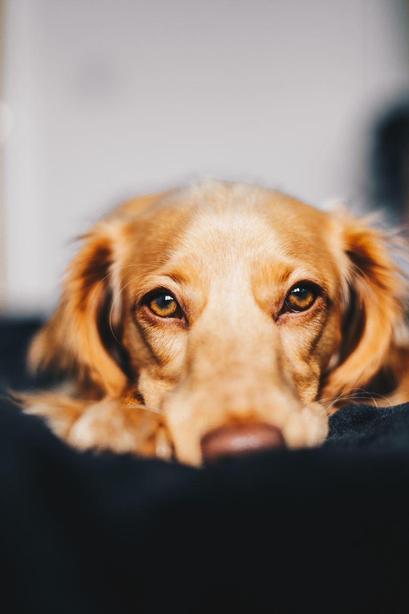 A canine urinary tract infection is painful for your dog.