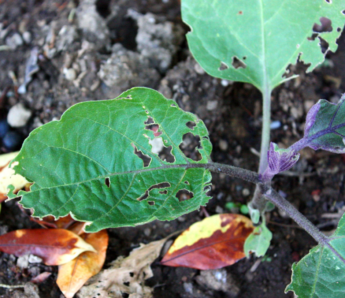 This picture shows the damage earwigs and slugs did to one of my eggplant bushes. If left untreated, this plant would have died within weeks.