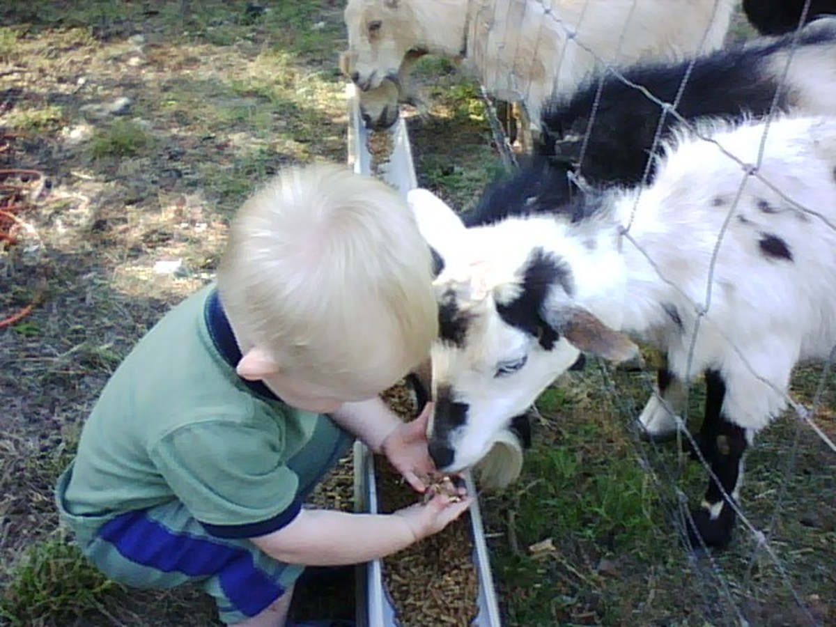 Toddler feeding a goat by hand. This breed is especially gentle.