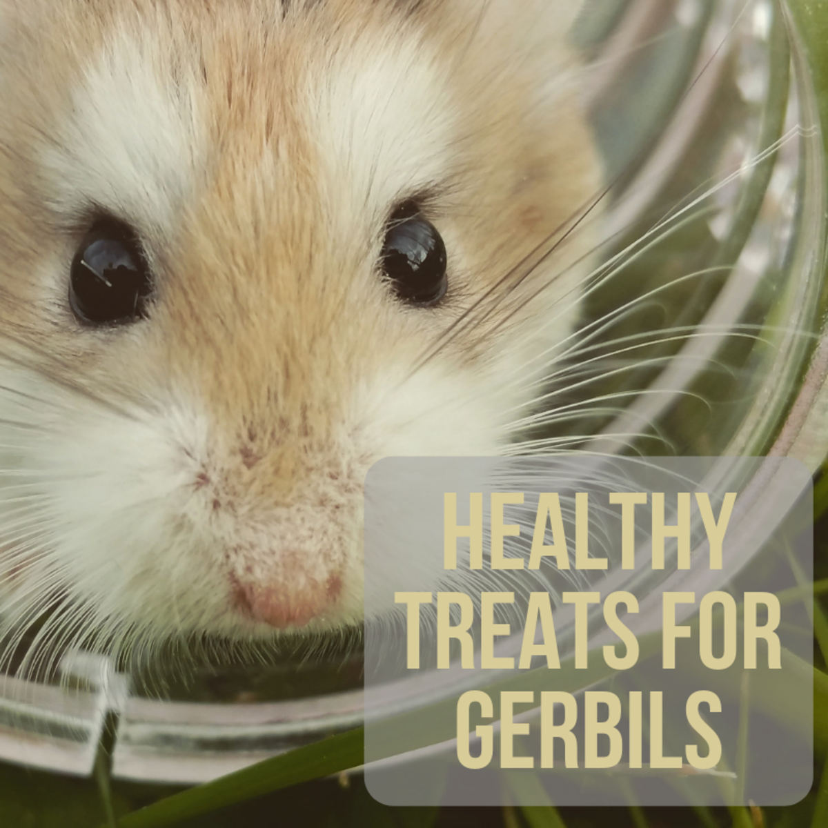 Gerbils love healthy snacks, but which fruits, veggies, seeds, and nuts are safe for them to eat?
