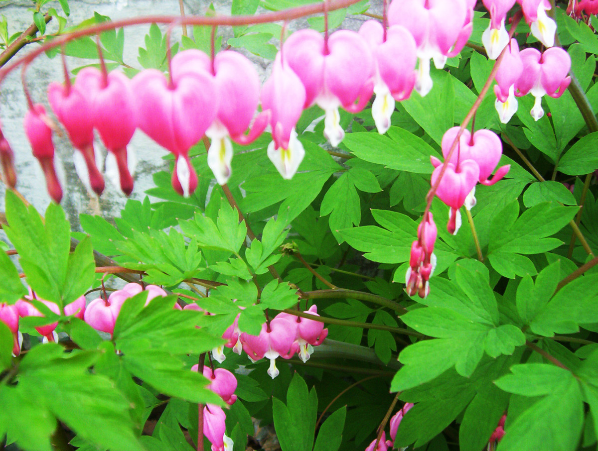 The beautiful bleeding heart.