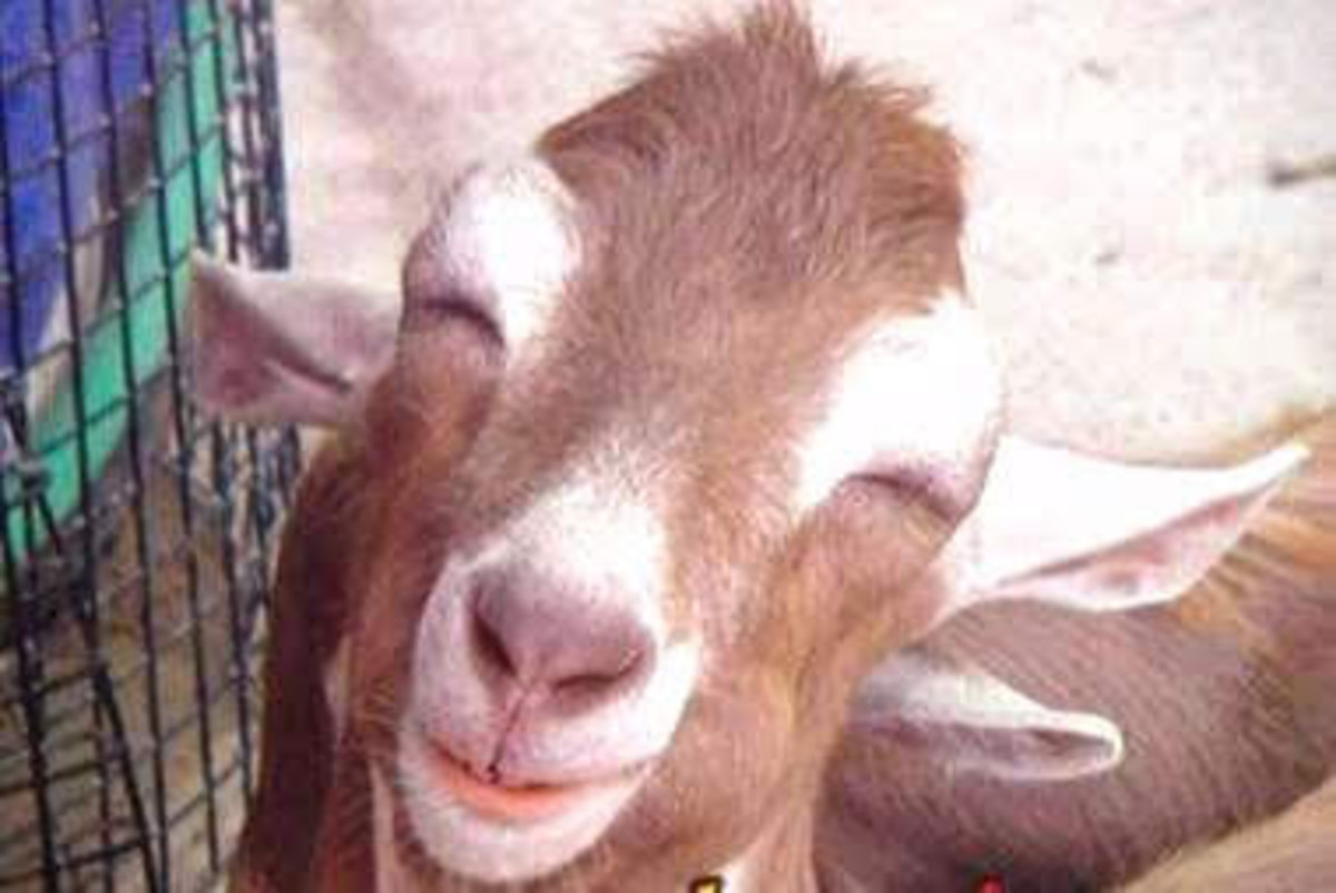 A happy goat makes happier cheese!