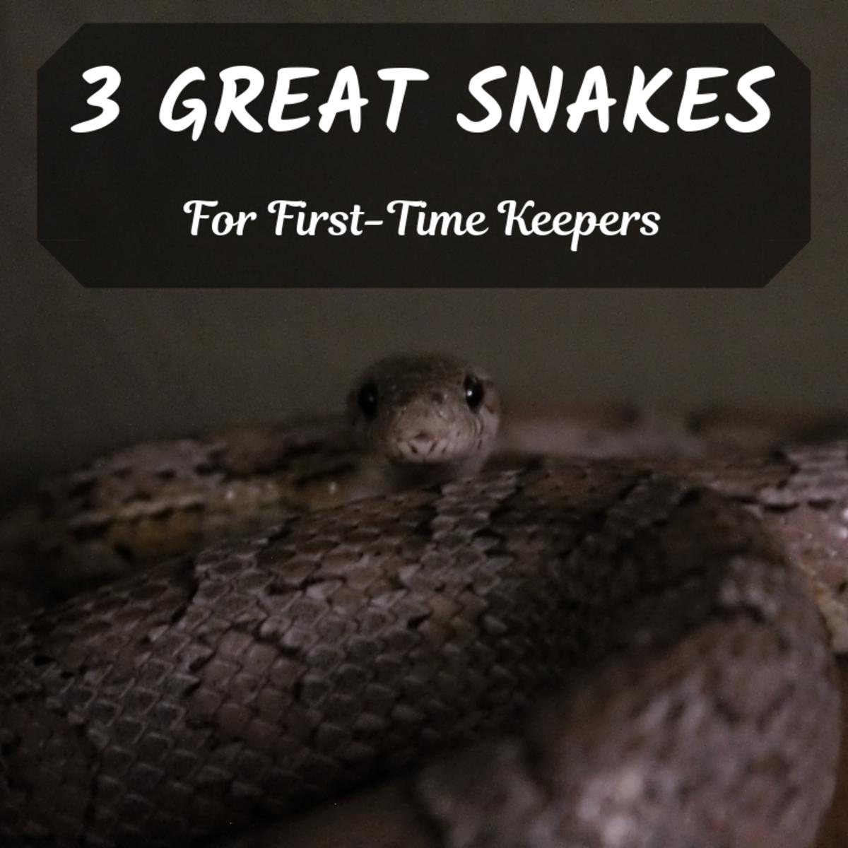 Corn Snakes, Ball Pythons, and Red Boas—Good Beginner Snakes?