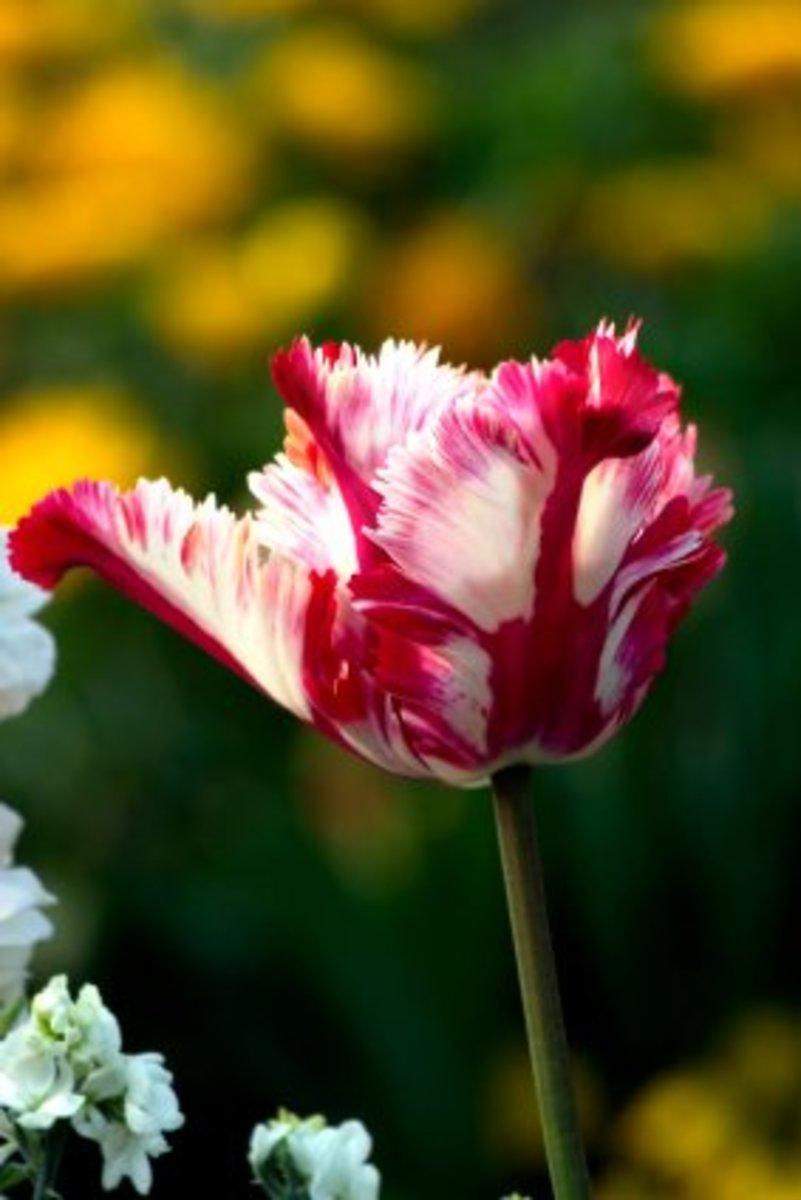 A stunning Ruffled Tulip