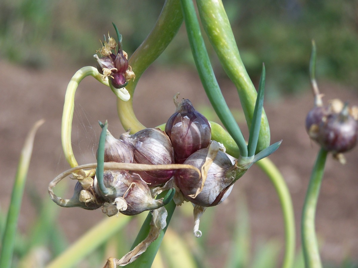 Growing and Using Egyptian Onions