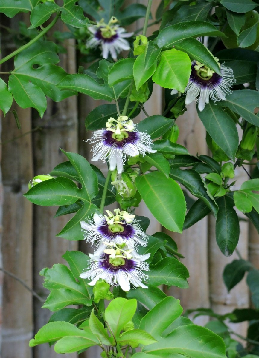 Vines And Climbers To Enhance Your Garden Hubpages