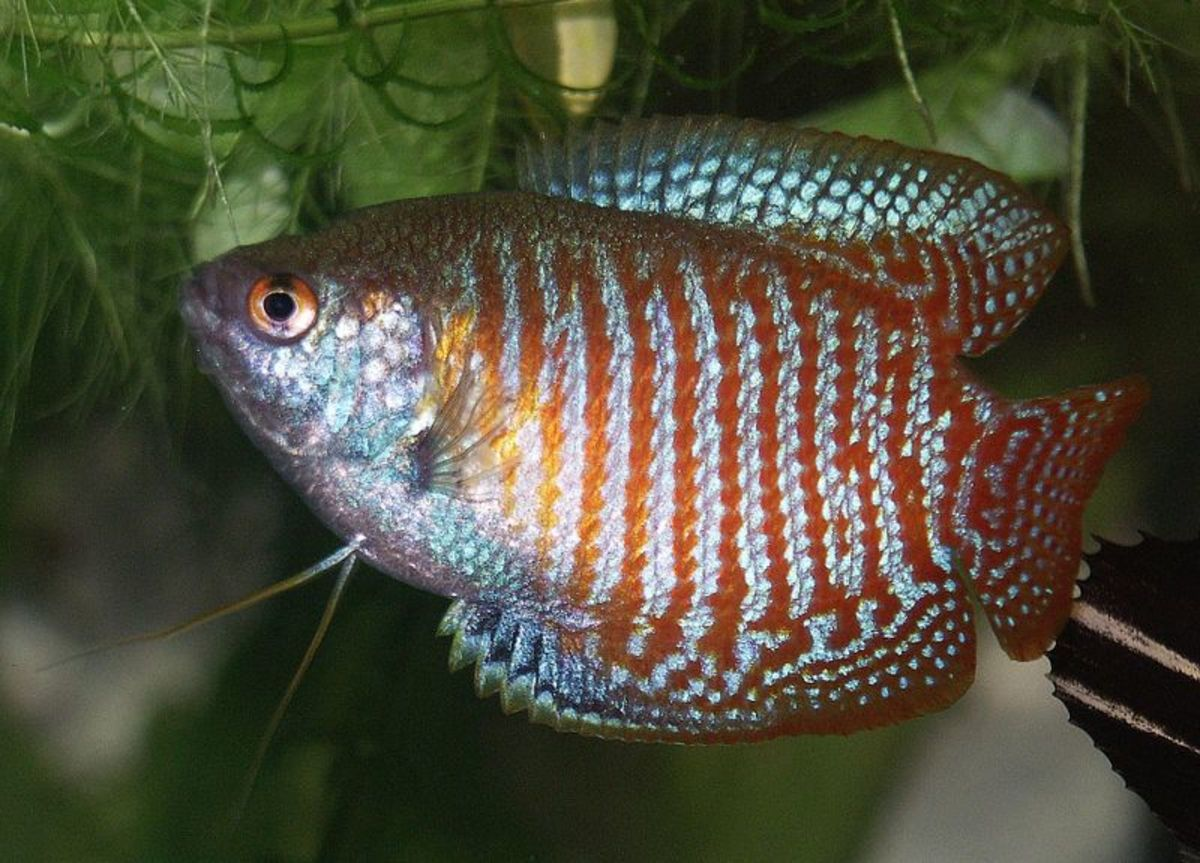 Gouramis How To Identify Males And Females Identifying