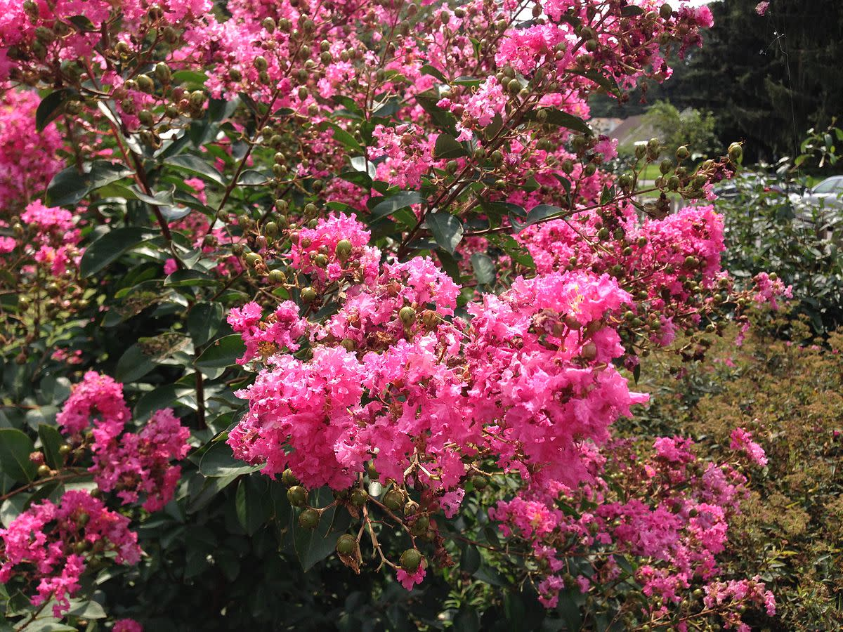 Crape Myrtles in Southern Landscaping