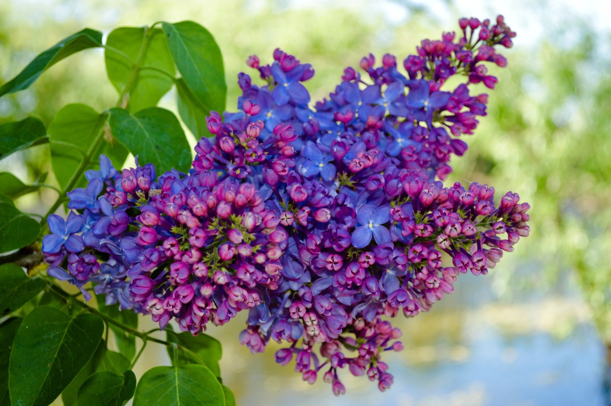 Lilac bushes make a vibrant and fun addition to any garden.