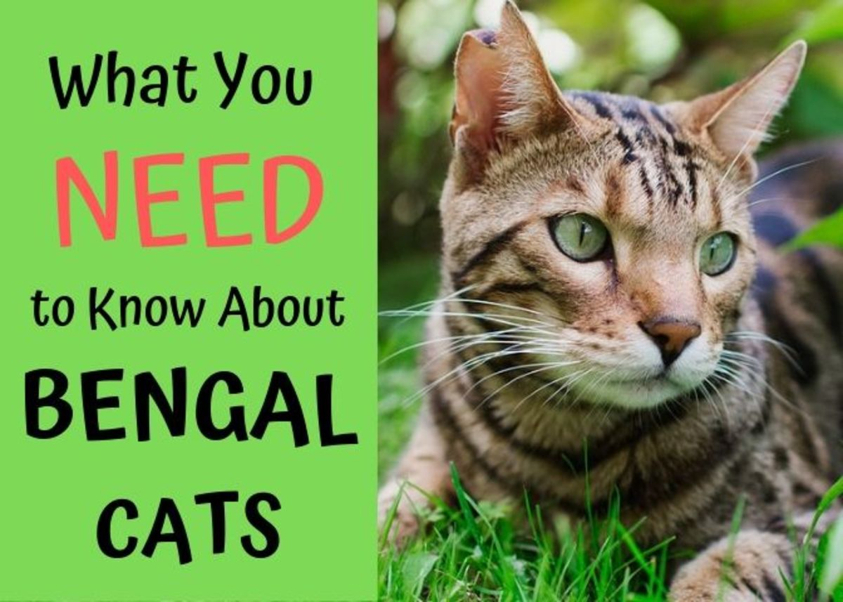 Bengal cats are beautiful animals, but they are far more than their looks. Here's what you need to know about these magnificent creatures before you take the plunge.