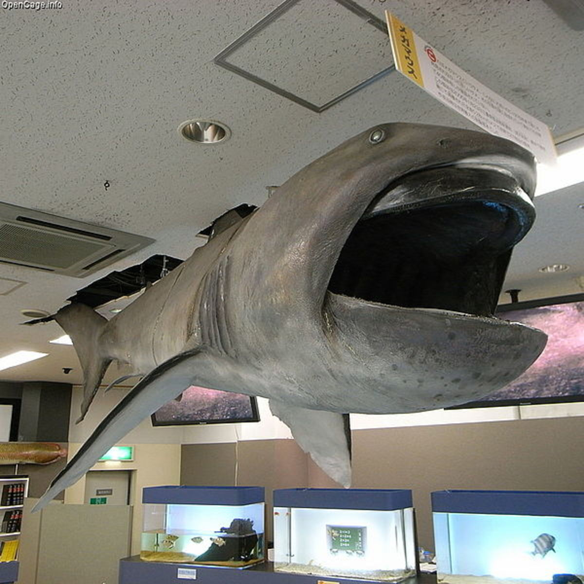 Megamouth shark specimen on display at the Toba Aquarium, Japan