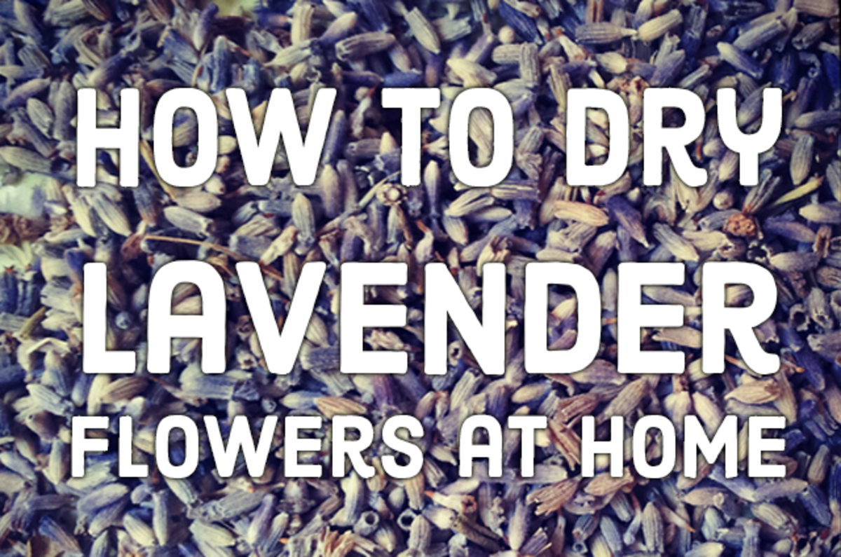 How to Dry Lavender Flowers at Home