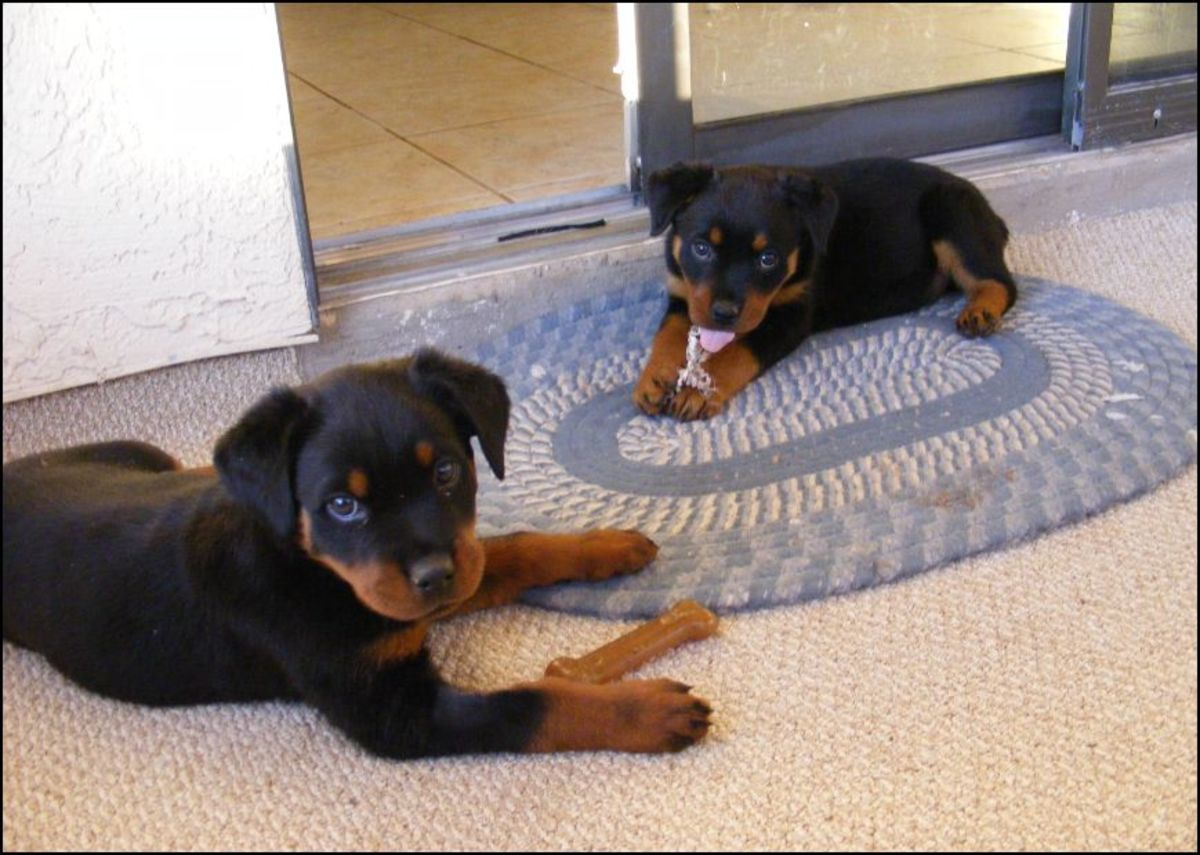 Common Health and Genetic Disorders in Rottweilers