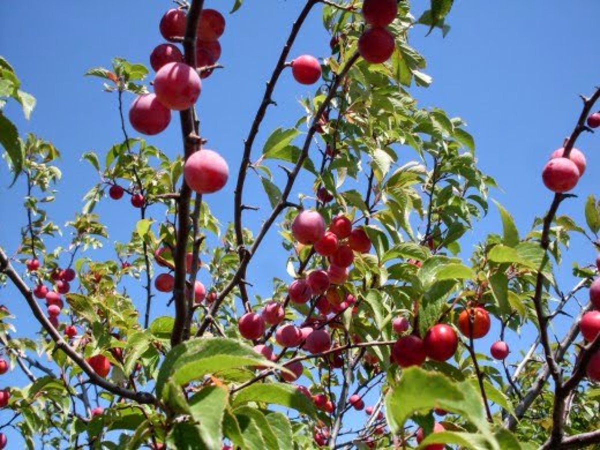 Wild plums look like jewels. During dreary days, they are a cheery addition to any table.