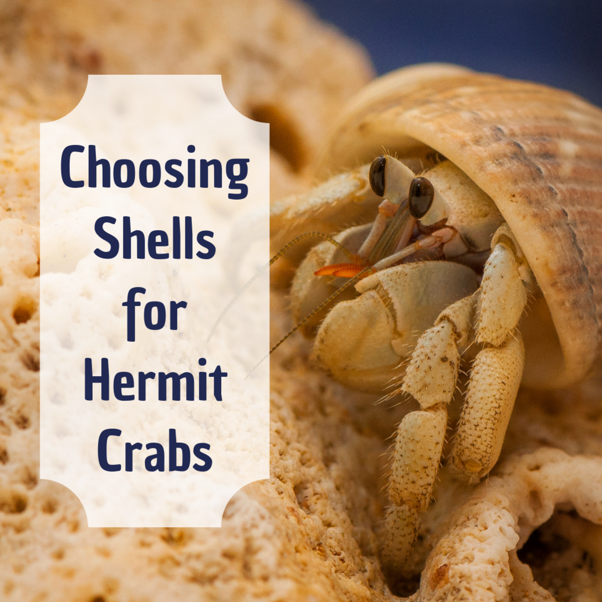 Learn how to measure, choose, and buy the correct shells for your hermit crabs, and discover more about how these crabs change their shells.