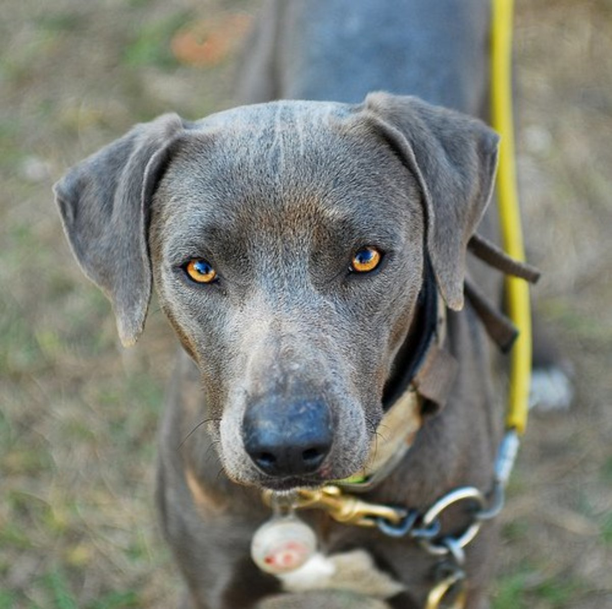 What is a Lacy Dog (aka Blue Lacy)?