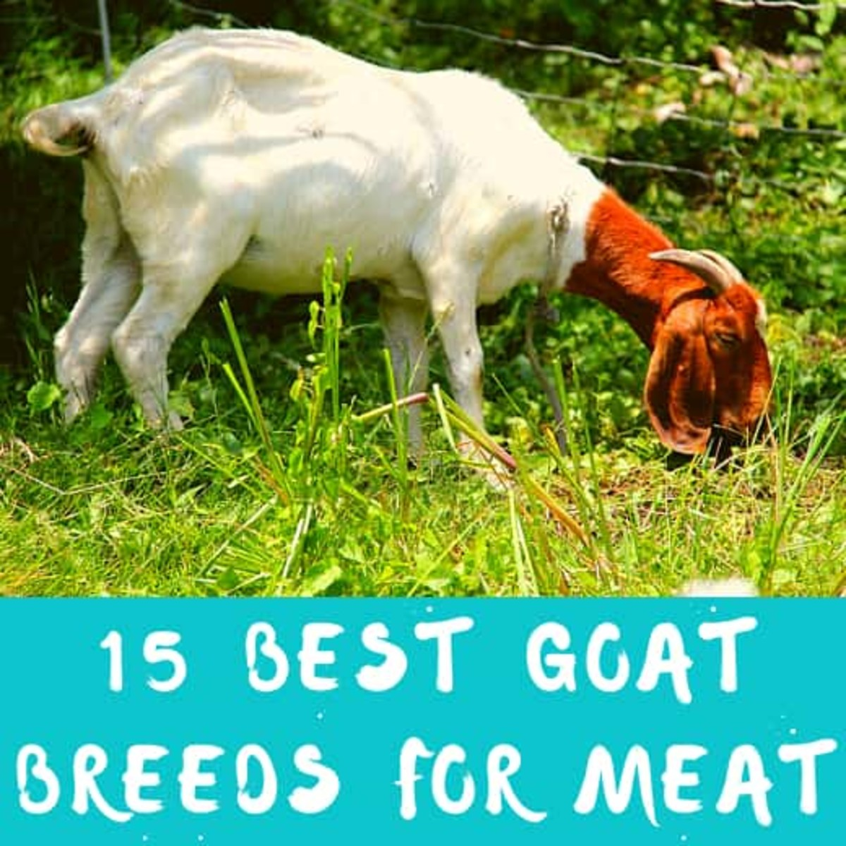 15 Best Goat Breeds for Meat