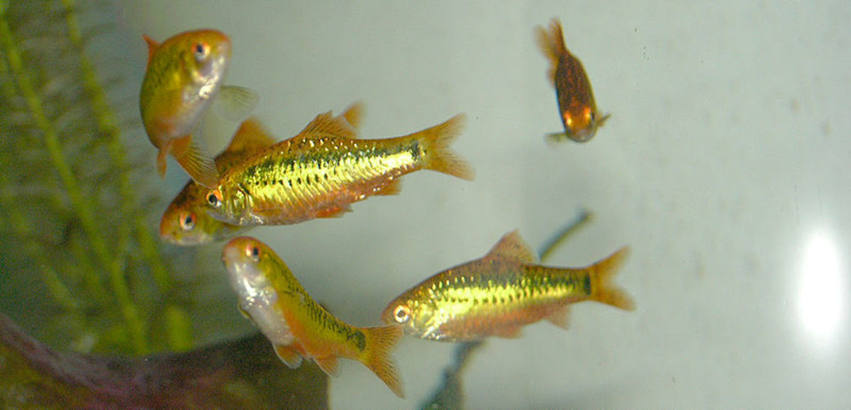 This school of gold barbs show off the characteristic bright metallic sheen that gives these fish their common name.