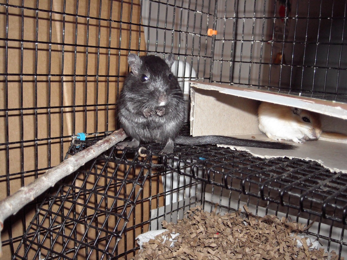 This is Midnight, our gerbil. She has a feisty spirit and is very fun!