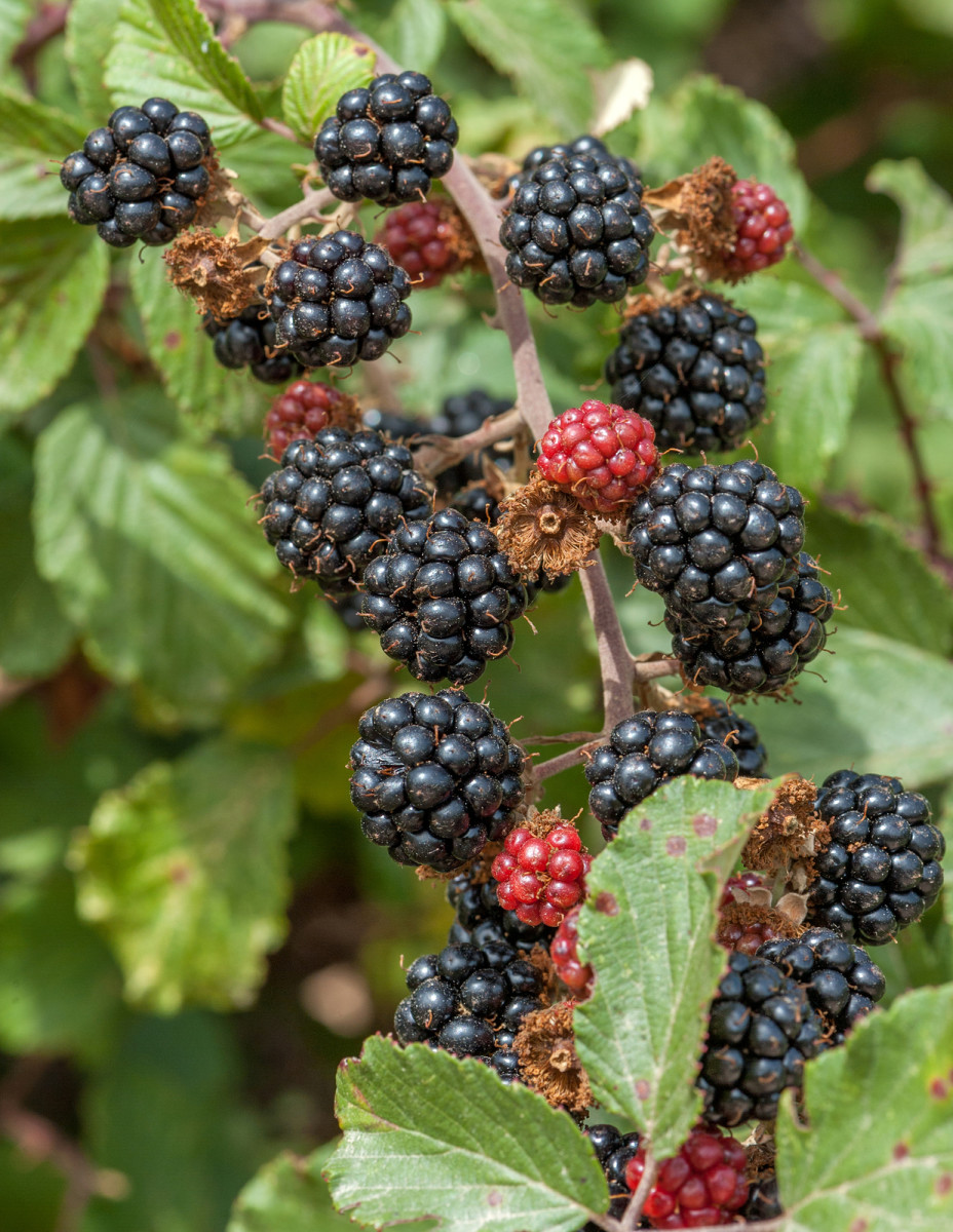 Blackberries will layer naturally, forming mats of brambles.
