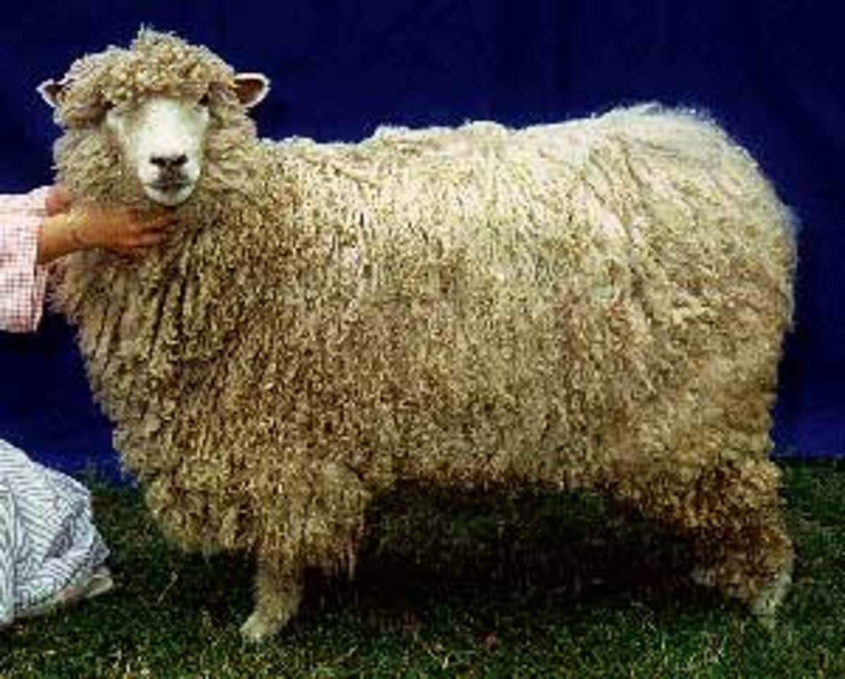 Rare and Endangered Sheep Breeds