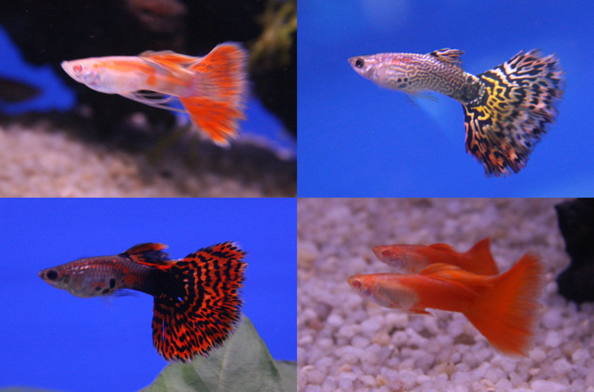 Guppies are the easiest fish in the world to breed.