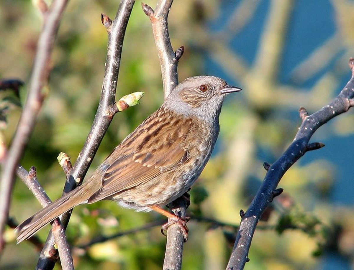 The dunnock was once known as the hedge sparrow, but its not a sparrow at all. Instead it belongs to a family of birds known as accentors.