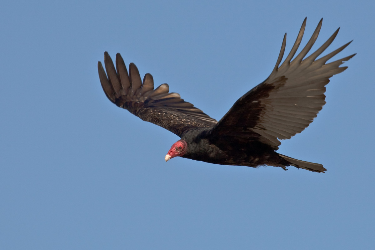 Everything You Wanted to Know About the Turkey Vulture