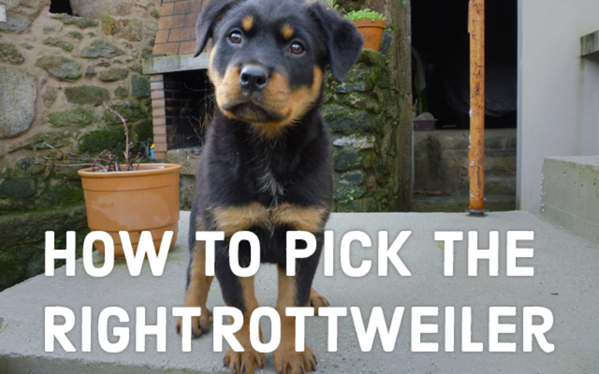 How to pick the right rottweiler puppy.