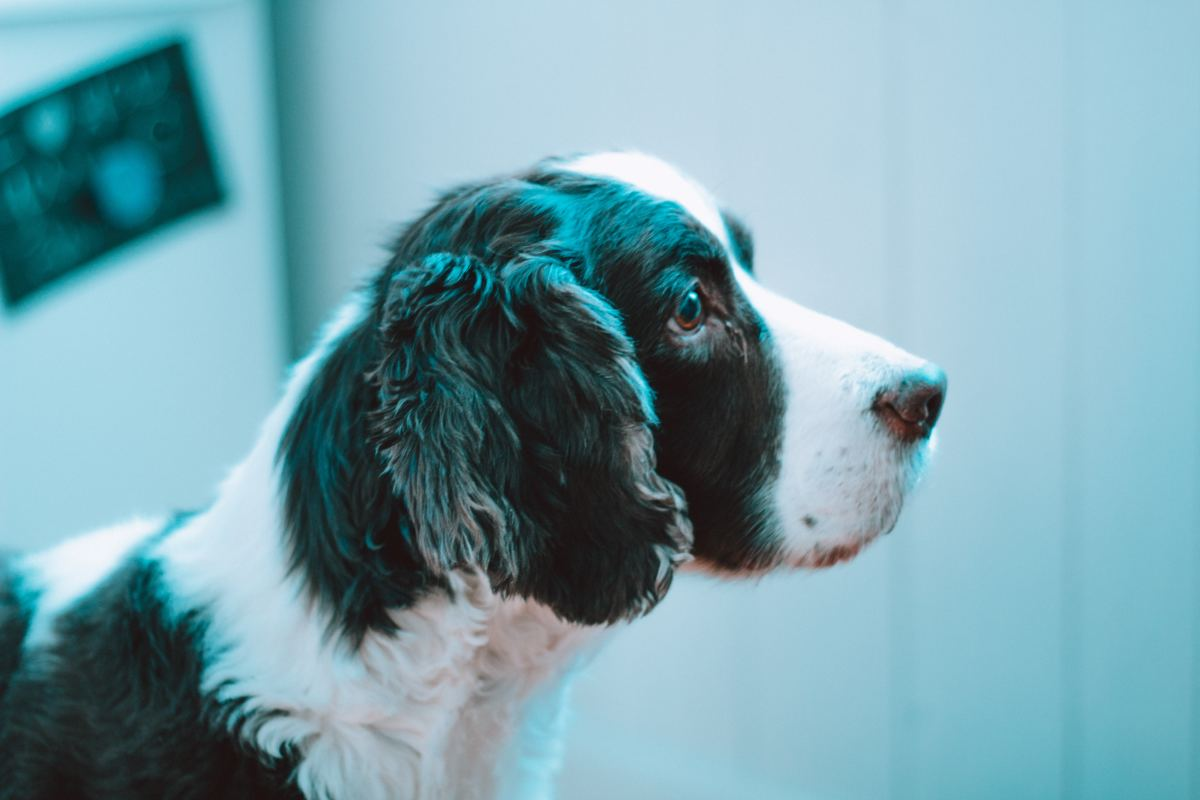 Dogs with floppy ears are prone to yeast infections.