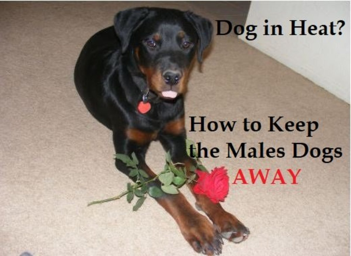 How to Keep Male Dogs Away From Females in Heat | PetHelpful