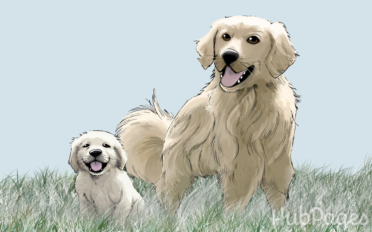 Golden Retriever Growth Sequence In The