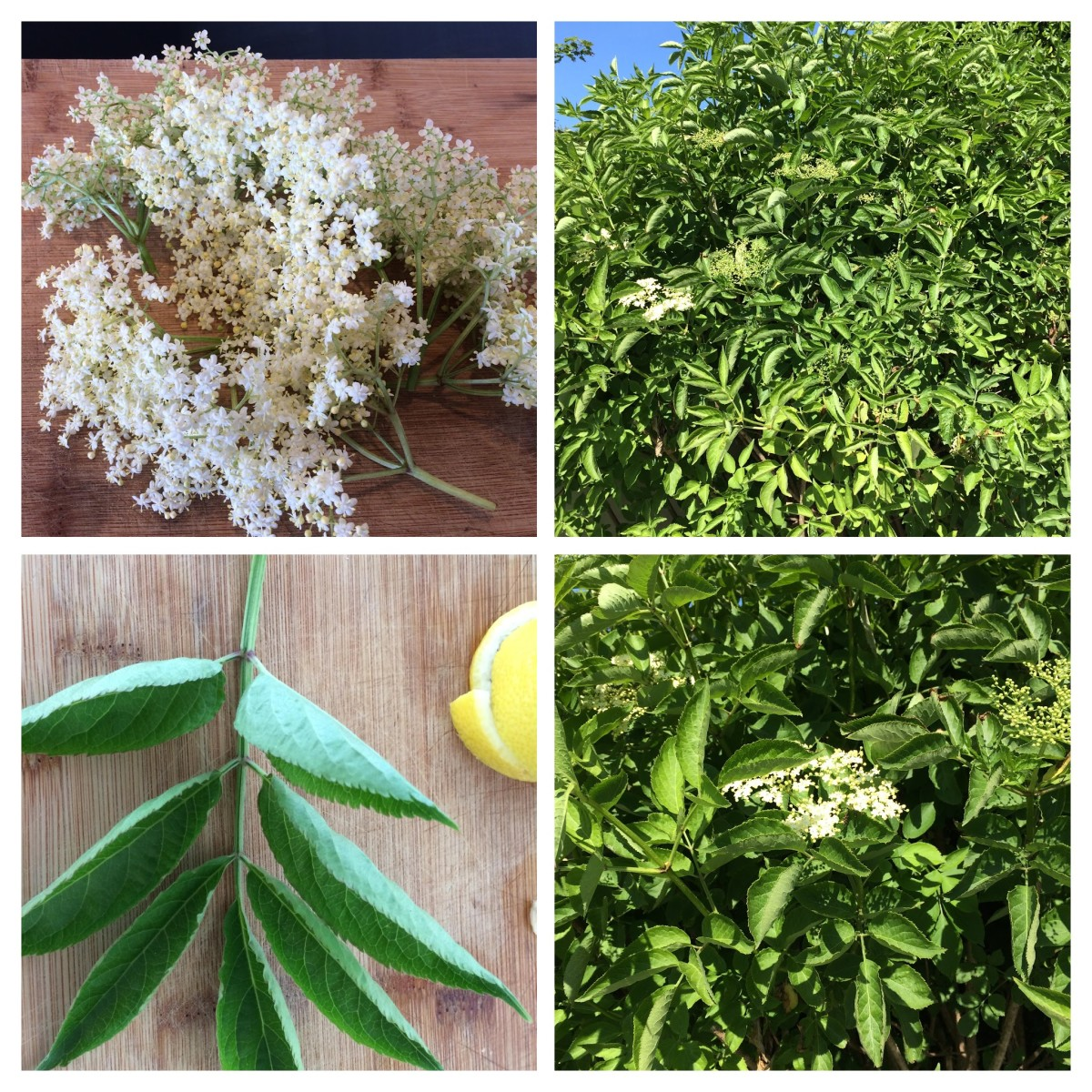 Identifying elderflowers. Top left, the sprays of flowers; bottom left, the leaf; right, the shrubby tree in a hedgerow.