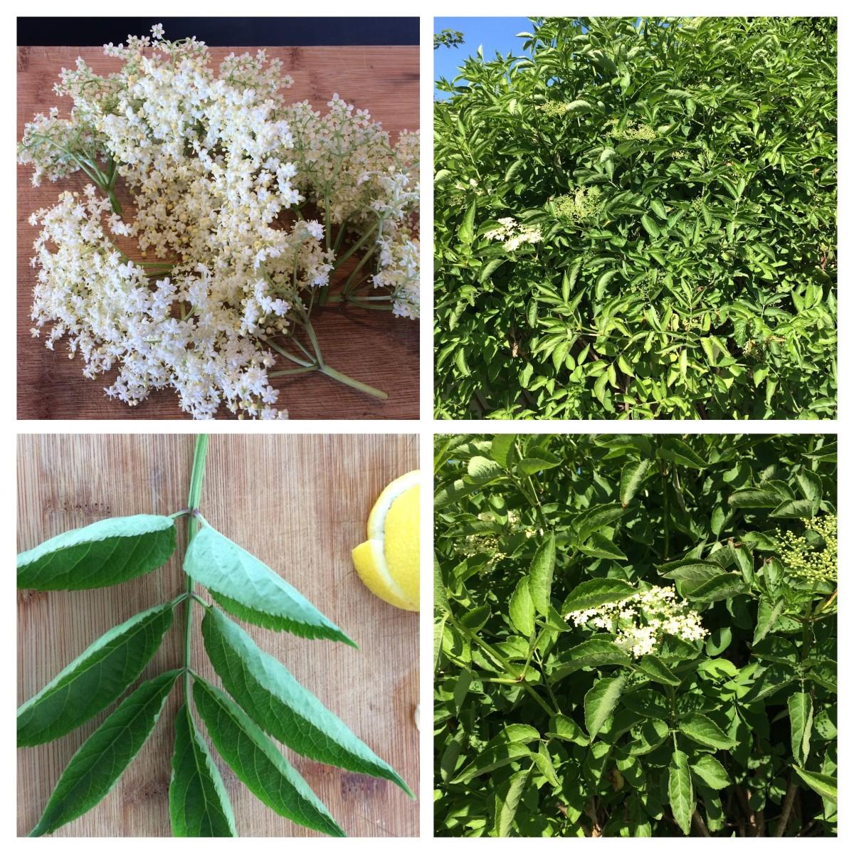 How to Make Elderflower Cordial: A Refreshing Summer Drink