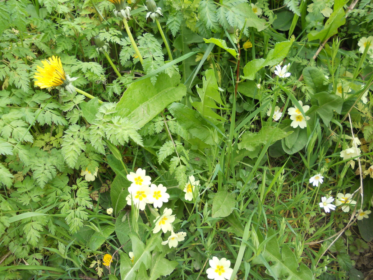 Some typical wild flowers growing in a bank below a hedgerow: dandelion (top left), primroses (centre), and lesser stitchwort (white flower, right).