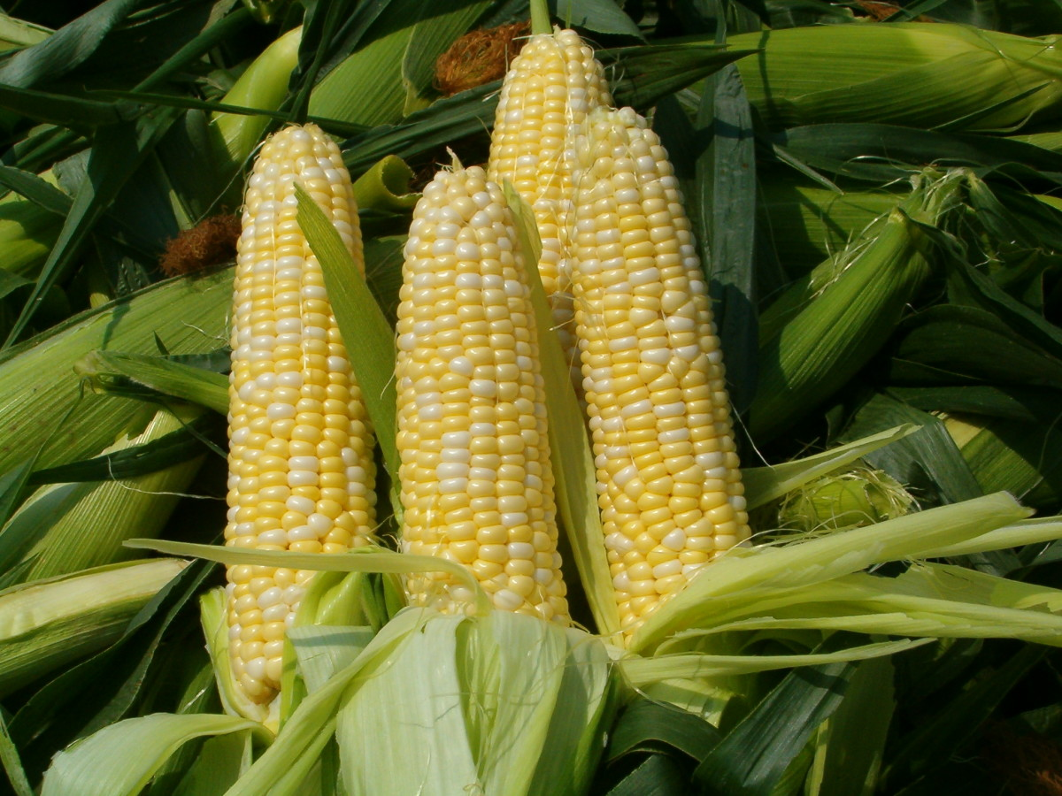 How To Put Up Fresh Corn In Your Freezer