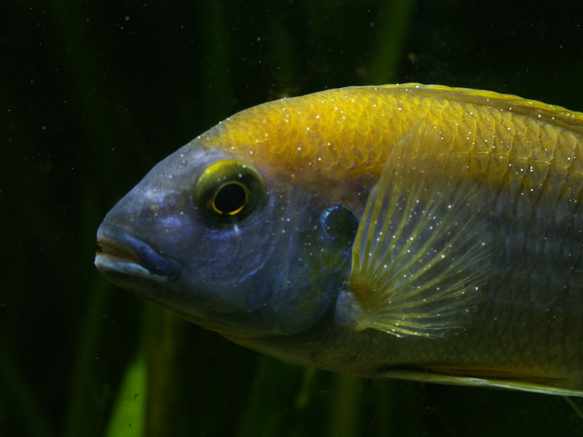 A cichlid with an advanced case of Ichthyophthirius, or white spot disease.