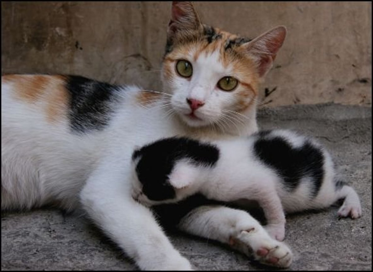 How to Help Mother Cat Deliver Kittens