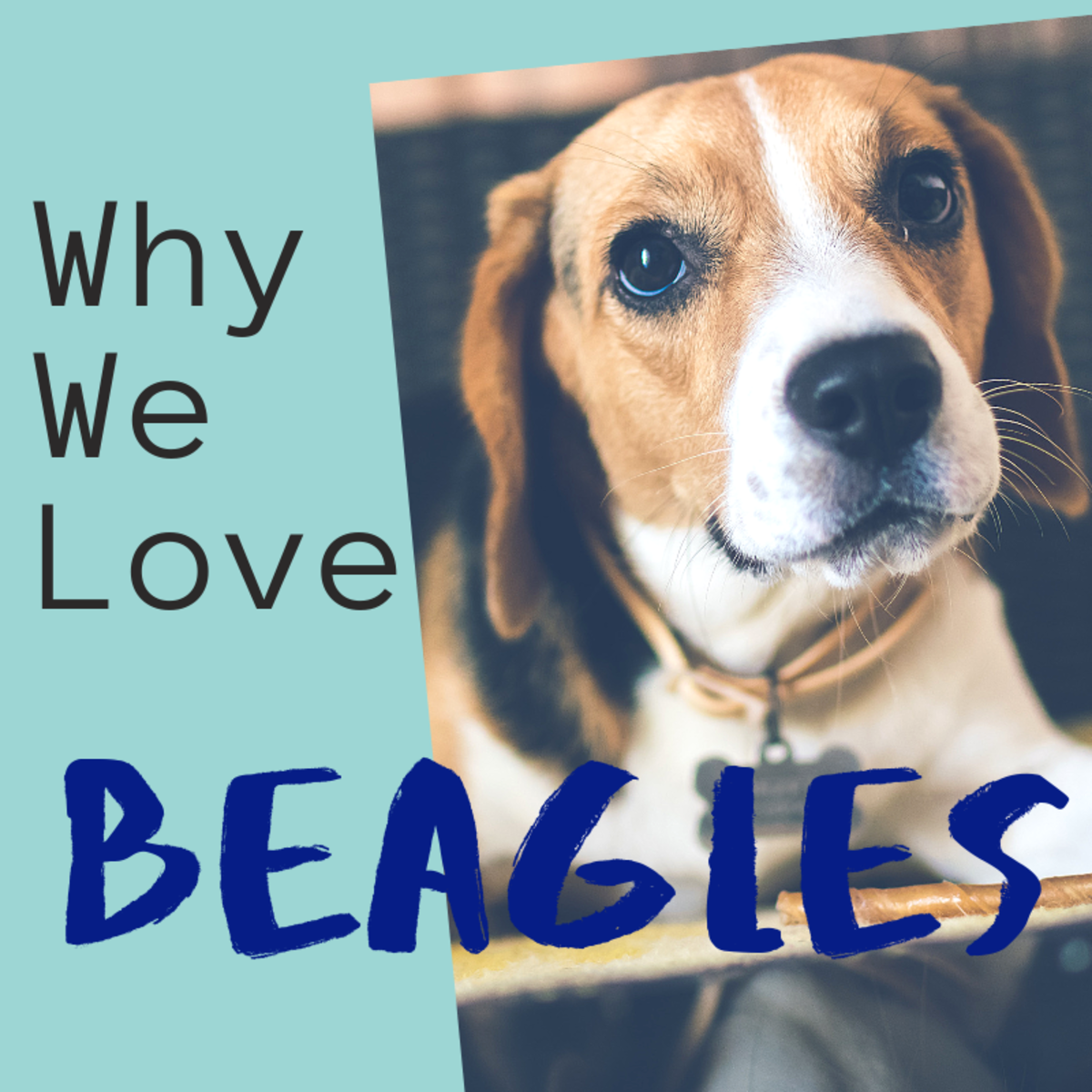 5 Reasons Why Beagles Are Perfect