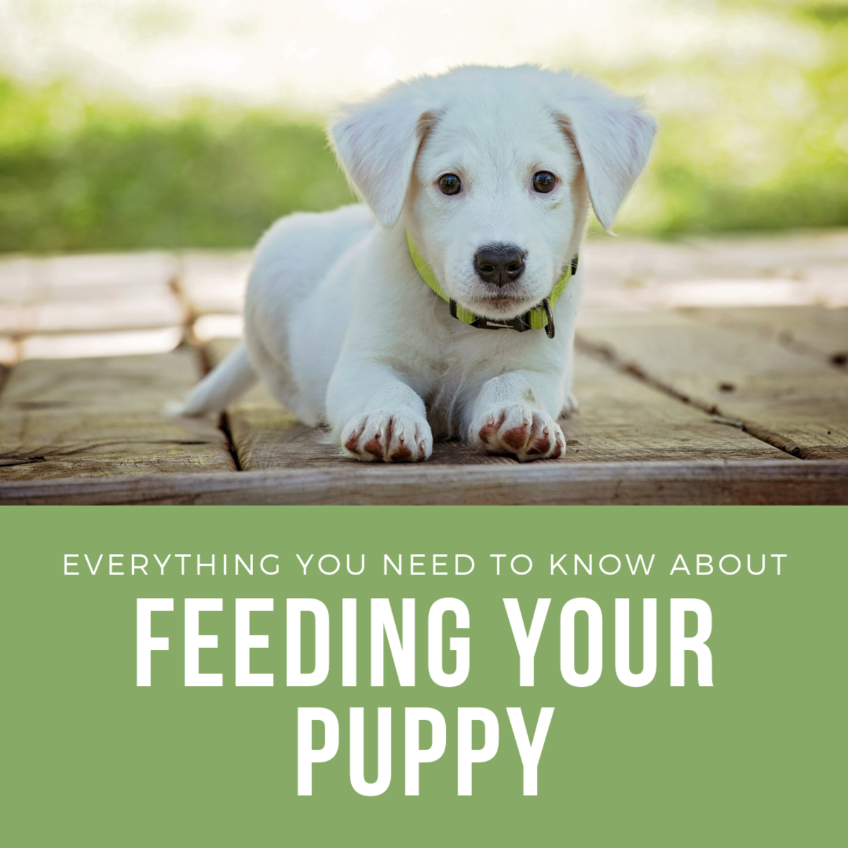 Everything You Need to Know About Feeding a Puppy