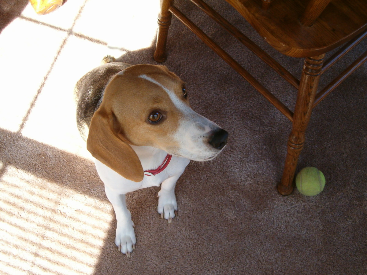 My precious beagle, who is now getting so much older.  This is a picture of her when she was so much younger.