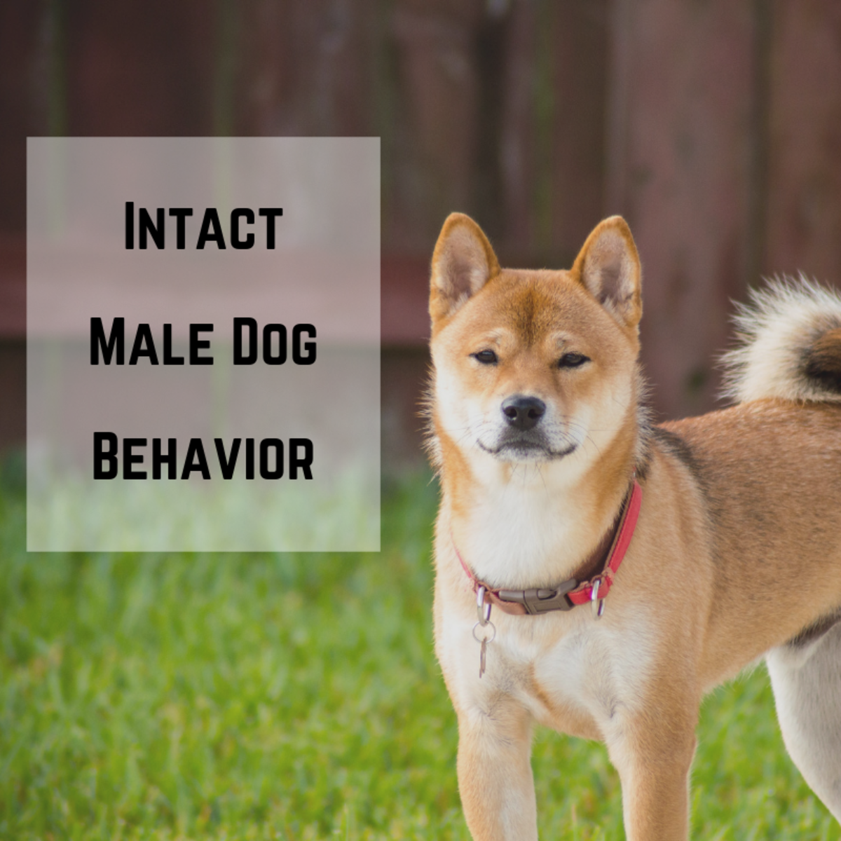 Behaviors of Intact Male Dogs