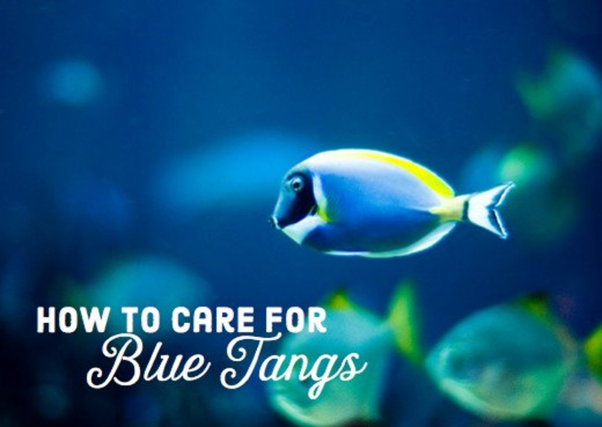 Blue Tang Care Guide and Requirements
